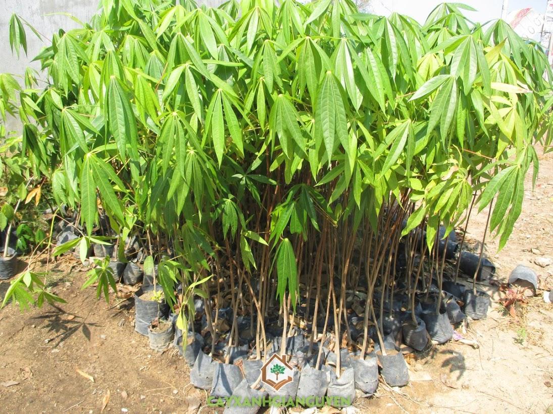 Trôm giống, Cây Trôm giống, Vườn ươm Gia Nguyễn, Cây Trôm giống lấy mủ, Cây Trôm lấy mủ