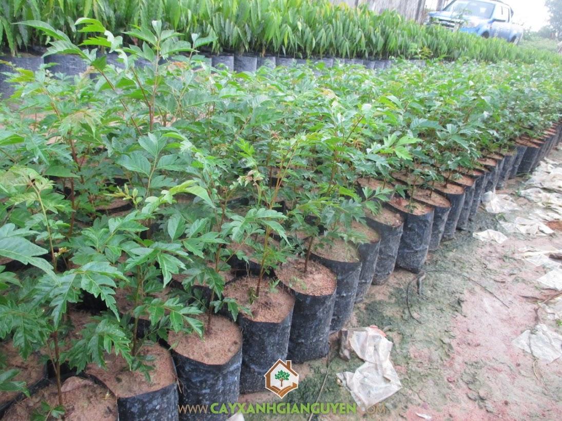 Cây Lát Hoa, Cây giống Lát Hoa, Kỹ thuật trồng cây Lát Hoa, Trồng Lát Hoa, Cây lâm nghiệp