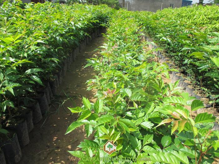 Cây Lát Hoa, Hệ thống cây xanh đô thị, Lát hoa trồng, Gỗ lát hoa, Nhựa cây màu vàng