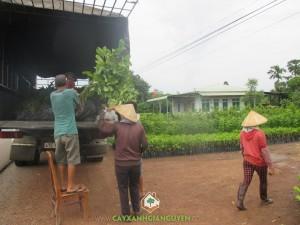 Cây Xanh Gia Nguyễn, Cây Gáo Vàng, Vườn Ươm Gia Nguyễn, Cây lâm nghiệp, Cách trồng và chăm sóc cây con