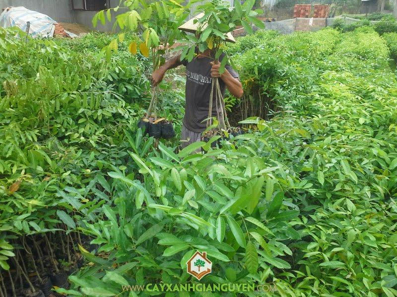 Cây Xà Cừ giống, Rừng cây Xà Cừ giống, Nhà vườn Gia Nguyễn, Trồng Xà Cừ, Xà Cừ