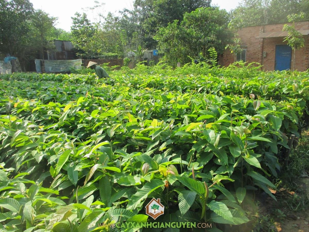 Cây Dầu Rái, Vườn ươm Gia Nguyễn, Cây Giống, Cây Dầu Rái giống, Kỹ thuật trồng