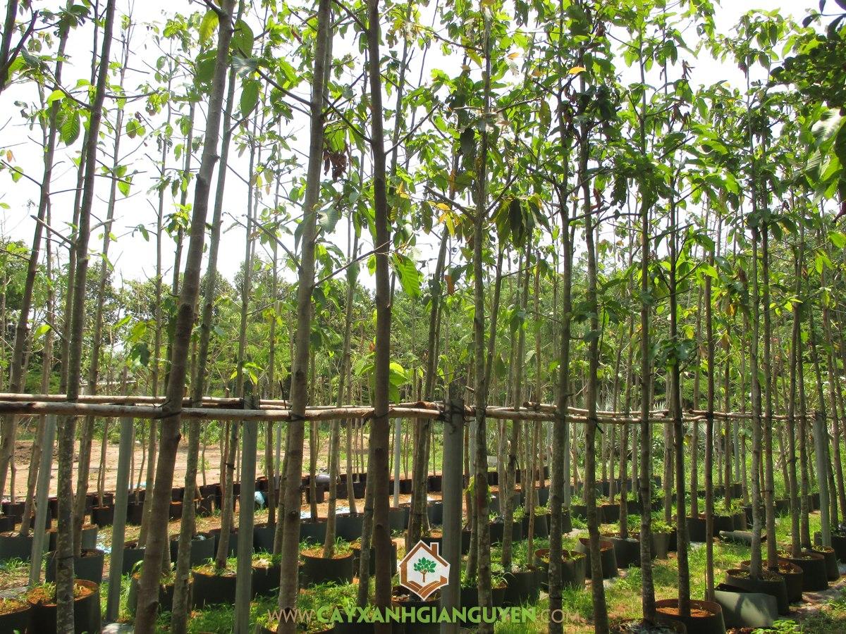 Trồng cây Dầu Rái, Dầu Rái, Cây Dầu Rái, Rừng Dầu Rái, Chăm sóc Dầu Rái sau khi trồng