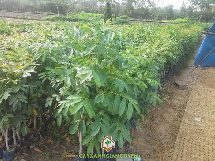Cây Xà Cừ, Vườn Xà Cừ, Cách chăm sóc cây, Cây Xà Cừ con, Cách chăm sóc cây Xà Cừ