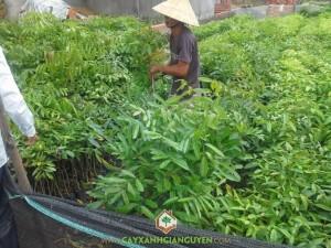 Cây Xà Cừ, Kỹ thuật trồng cây xà cừ, Cách trồng cây, Trồng cây con, Cây con