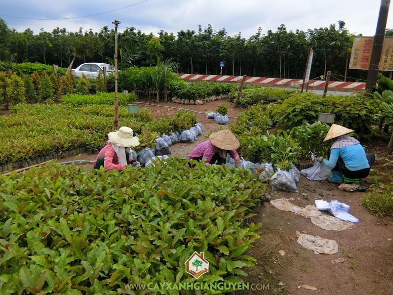 Cây Gáo Vàng, Cây Xanh Gia Nguyễn, Vườn ươm tỉnh Bình Phước, Gáo Vàng, Giống Gáo Vàng