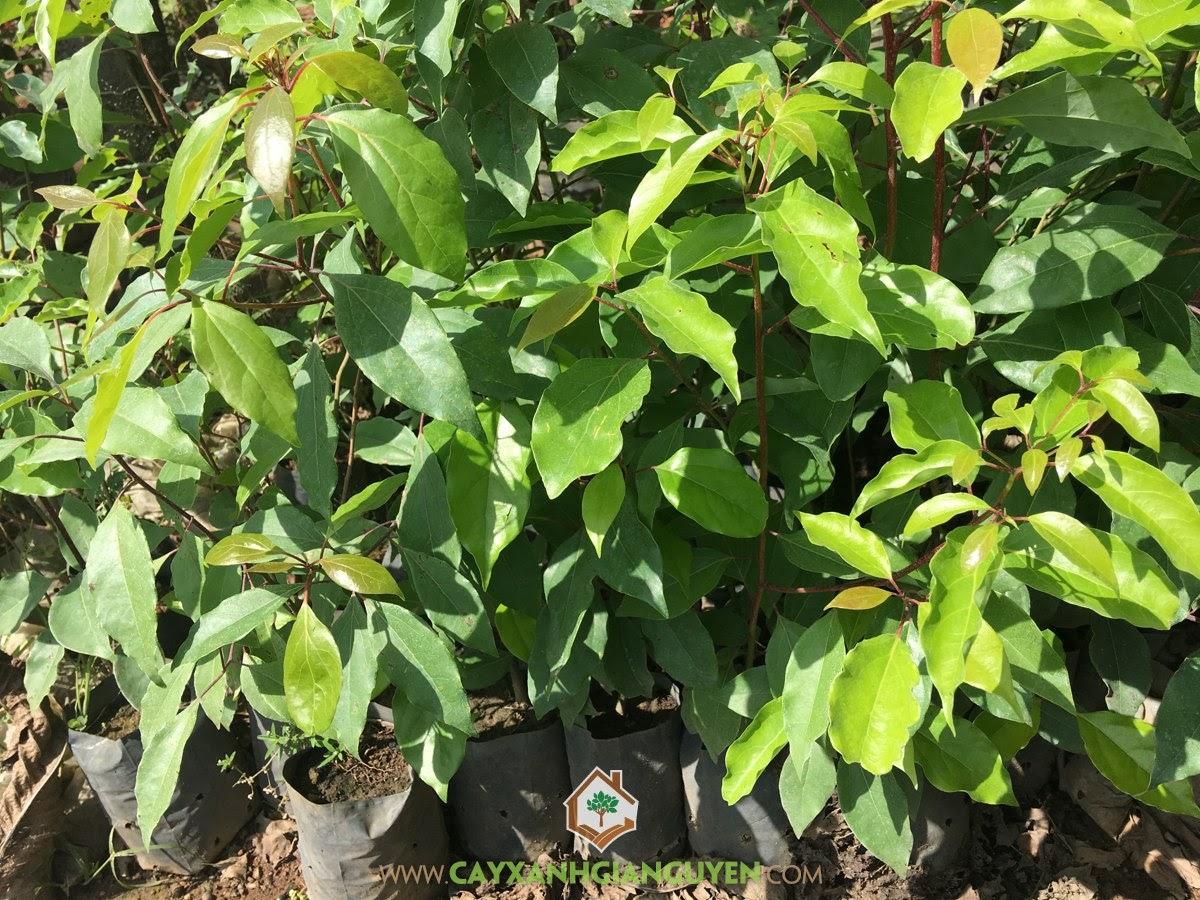 Cây Long Não giống, Cây Long Não, Vườn ươm Gia Nguyễn, Cây giống, Công ty Cây Xanh Gia Nguyễn