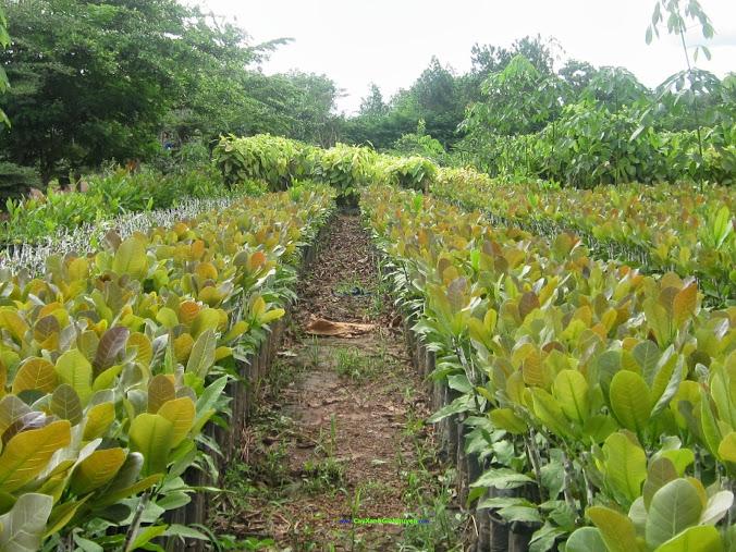 Giống cây trồng, Giống cây điều, Giống điều, Giống điều bán lùn, Chăm sóc và phòng trừ sâu bệnh