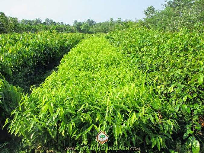 Cây Dó Bầu, Trồng Dó Bầu, Trầm, Tinh dầu trầm hương, Hương trầm