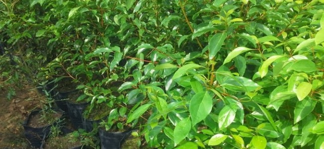 Kỹ thuật trồng và chăm sóc cây, Vườn ươm Gia Nguyễn, Giống cây, Cây Long Não giống, Trồng cây giống