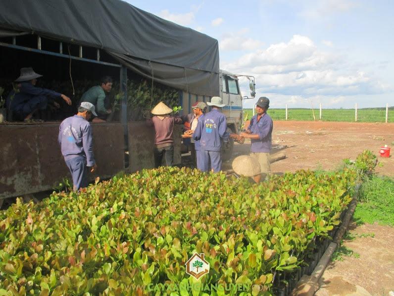 Giống Điều ghép, Cây Xanh Gia Nguyễn, Vườn ươm Cây Xanh Gia Nguyễn, Trồng điều ghép, Điều cao sản Ấn Độ PN1