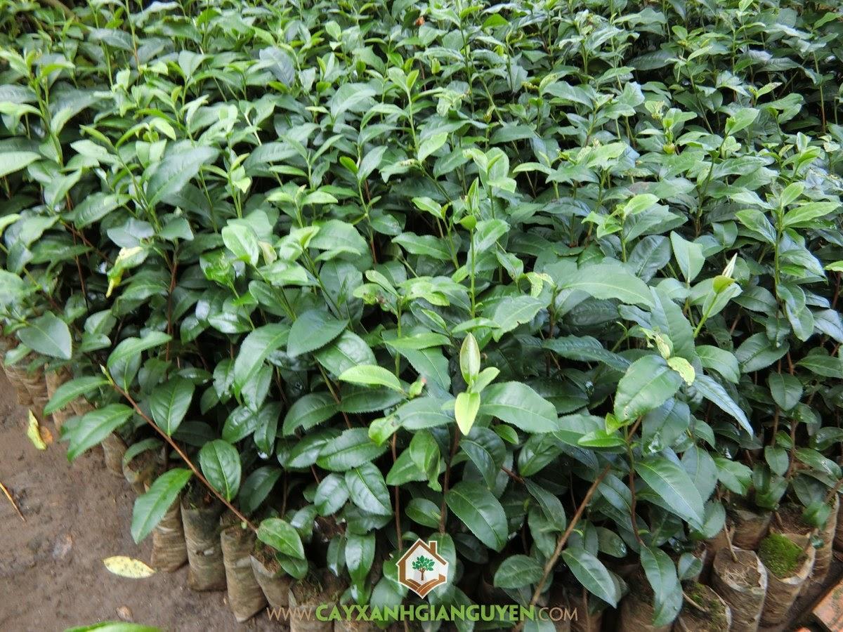 Chè Xanh, Vườn ươm Cây Xanh Gia Nguyễn, Cây Chè Xanh giống, Cây Trà Xanh, Cây Chè Xanh