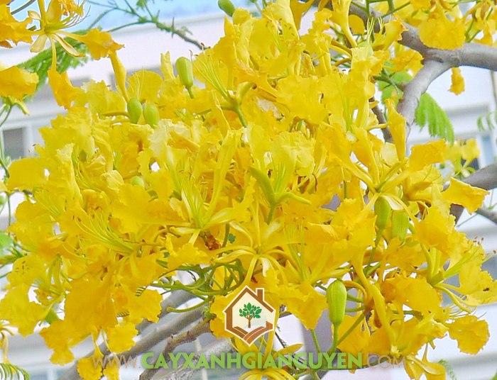 Phượng Vĩ hoa Màu Đỏ Cam, Phượng Vĩ hoa Màu Đỏ Thắm, Phượng Vĩ hoa Vàng, Phượng Tím , Phượng Vĩ hoa Trắng