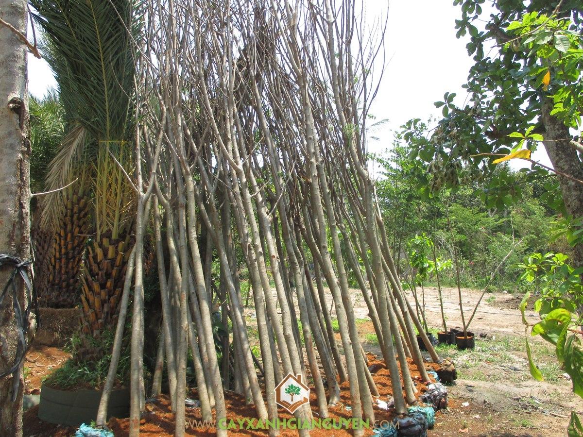 Cây Phượng Vĩ, Cách chăm sóc Cây Phượng Vĩ, Vườn ươm Gia Nguyễn, Cây xanh đô thị, Cây Cảnh Quan