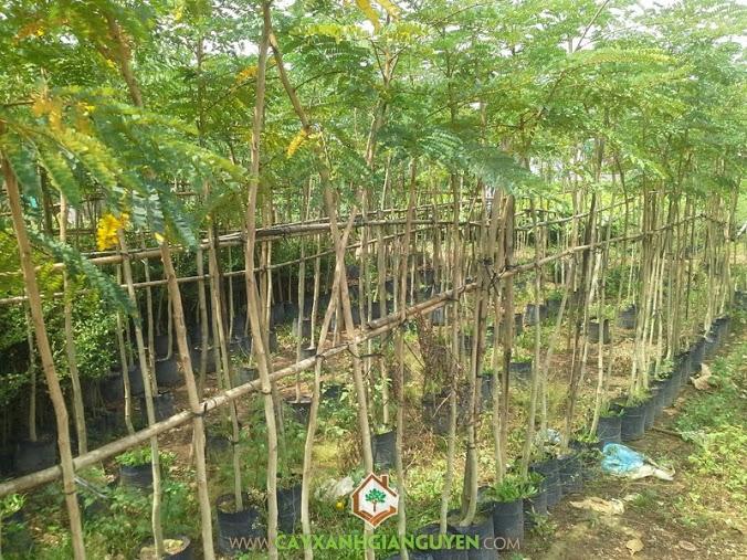 Cây Lim Xẹt, Lim Xẹt, Kỹ thuật trồng Cây Lim Xẹt, Cây Công Trình, Cây Lâm Nghiệp