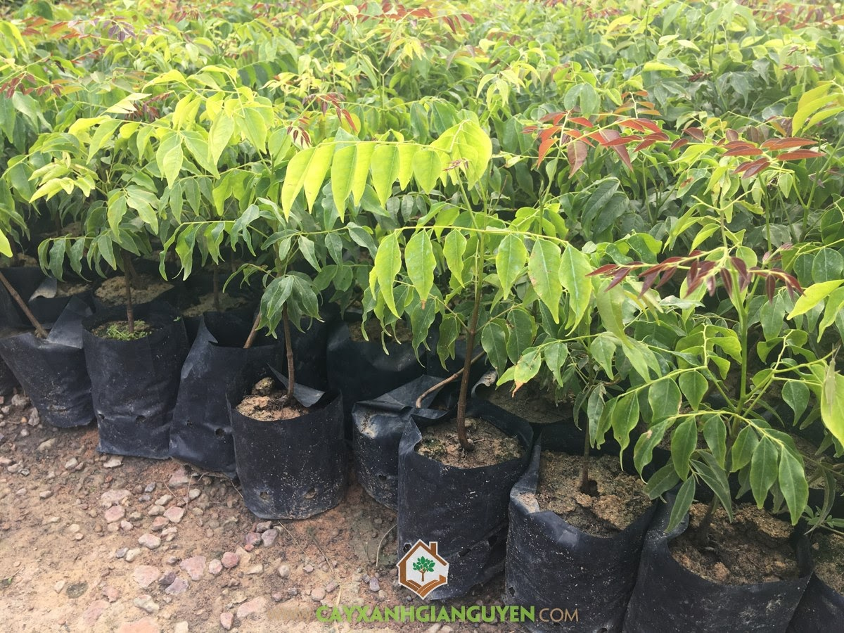 Erythrophleum Fordii, Cây Lim Xanh, Lim Xanh, Cây Giống Lâm Nghiệp, Cây Công Trình