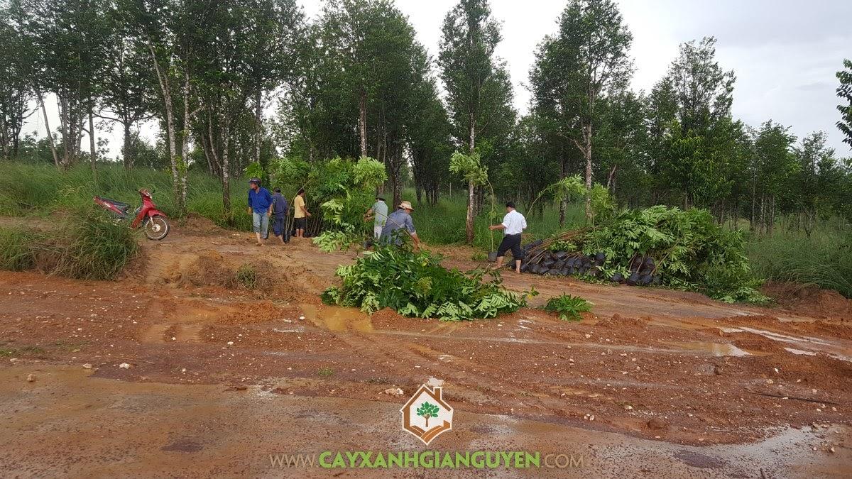 Cây Xanh Gia Nguyễn, Cây Hoàng Nam, Cây Xà Cừ, Vườn ươm Cây Xanh Gia Nguyễn, Cây giống