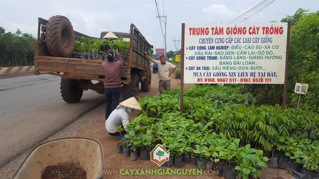 Cây Xanh Gia Nguyễn, Cây Giá Tỵ, Cây Lát Hoa, Cây giống Lát Hoa, Cây giống