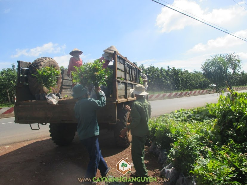 Cây Xanh Gia Nguyễn, Cây Lát Hoa, Vườn ươm Cây Xanh Gia Nguyễn, Chăm sóc Cây Lát Hoa, Giống Cây Lát Hoa