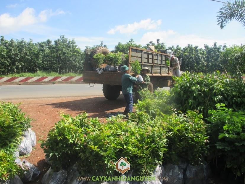 Cây Xanh Gia Nguyễn, Cây Lát Hoa, Vườn ươm Cây Xanh Gia Nguyễn, Chăm sóc cây Lát Hoa, Gốc Lát Hoa