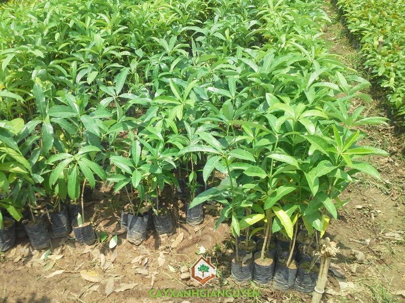 Hoa Sữa, Vườn ươm Cây Xanh Gia Nguyễn, Cách nhân giống Cây Hoa Sữa, Cây Hoa Sữa, Hoa Sữa Giống