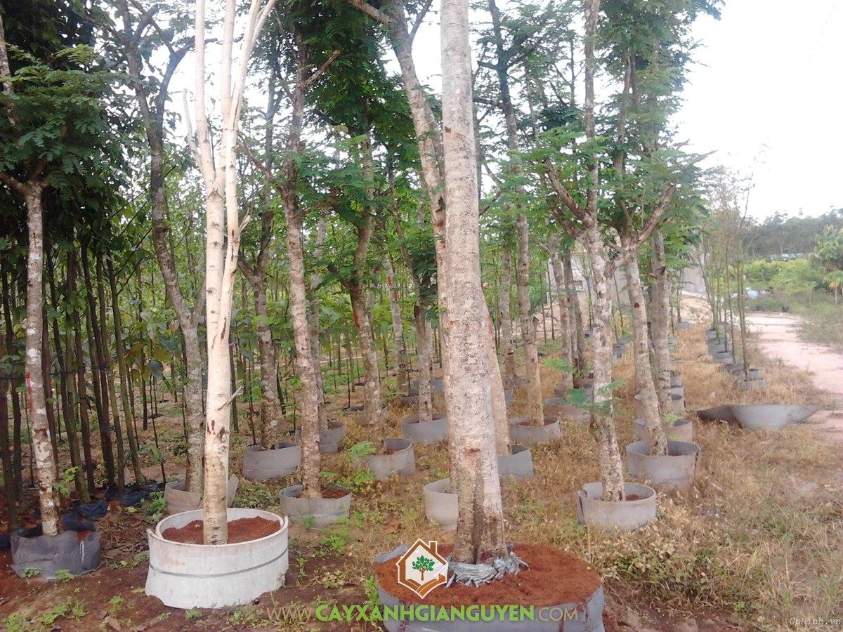 Cây Lim Xẹt, Cây Giống Lim Xẹt, Cây Lim Xẹt Giống, Hướng dẫn cách trồng Cây Lim Xẹt, Cây Giống