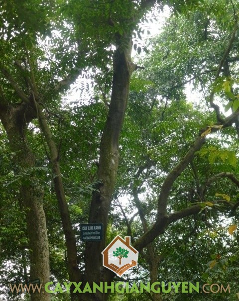Lim Xanh, Trồng Cây Lim Xanh, Trồng Rừng Lim Xanh, Phương pháp kỹ thuật trồng, Cây Lim Xanh