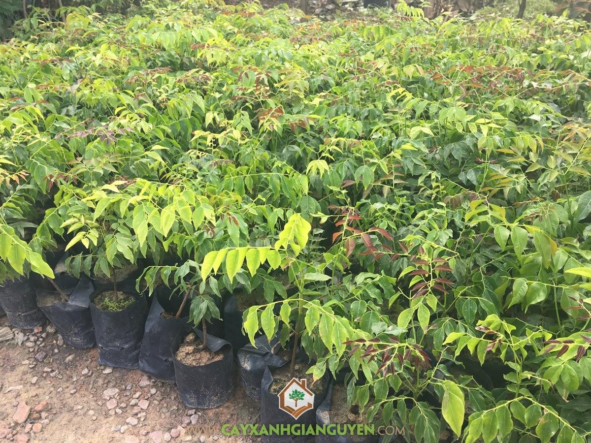 Lim Xanh, Cây Lim Xanh, Trồng Lim Xanh, Kỹ thuật trồng Cây Lim Xanh Giống, Cây Giống Lim Xanh