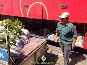 Cây gáo vàng, Vườn ươm Cây Xanh Gia Nguyễn, Kỹ thuật trồng và chăm sóc, Cây giống, Gáo Vàng