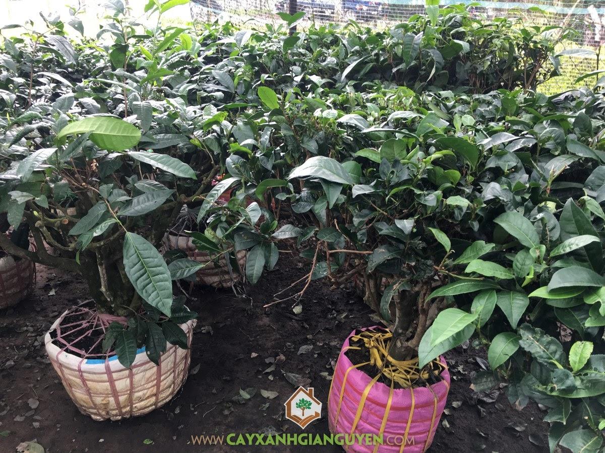 Cây Cảnh Bonsai, Cây Cảnh Truyền Thống, Cây Chè Xanh, chè xanh, Vườn Chè Xanh