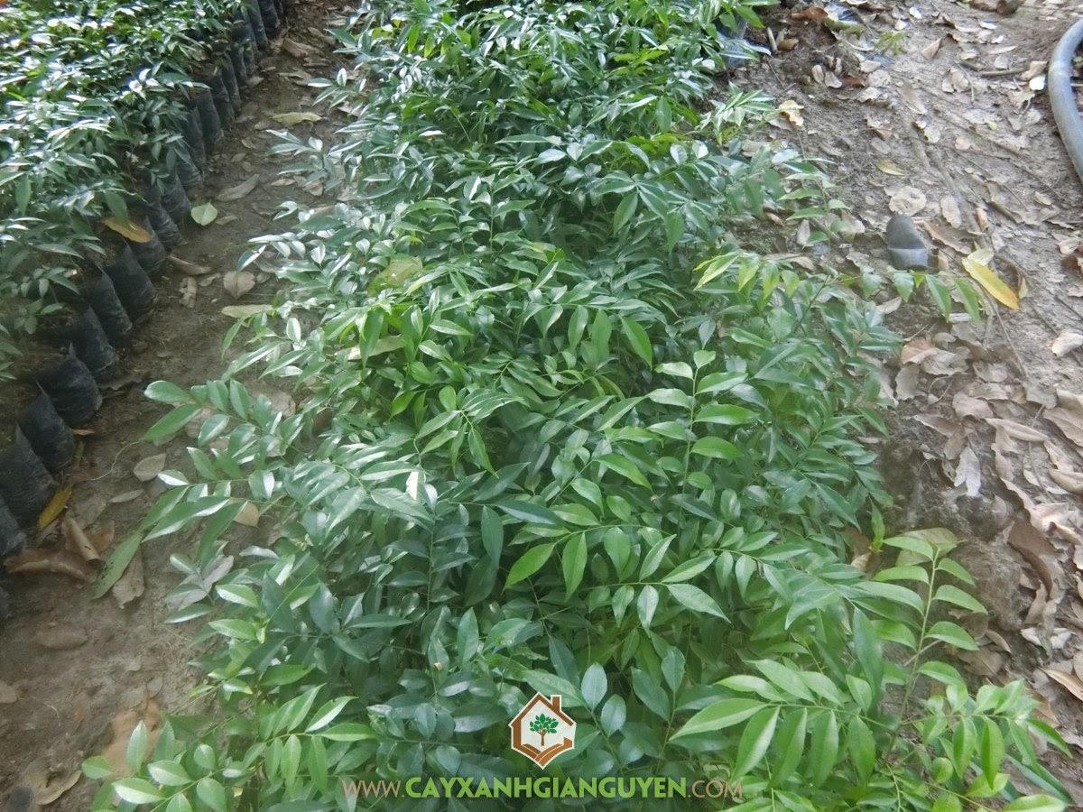 Kỹ thuật trồng Cây Mắc Mật, Cây Mắc Mật, Phòng trừ sâu bệnh cho cây, Mắc Mật, Rừng Mắc Mật