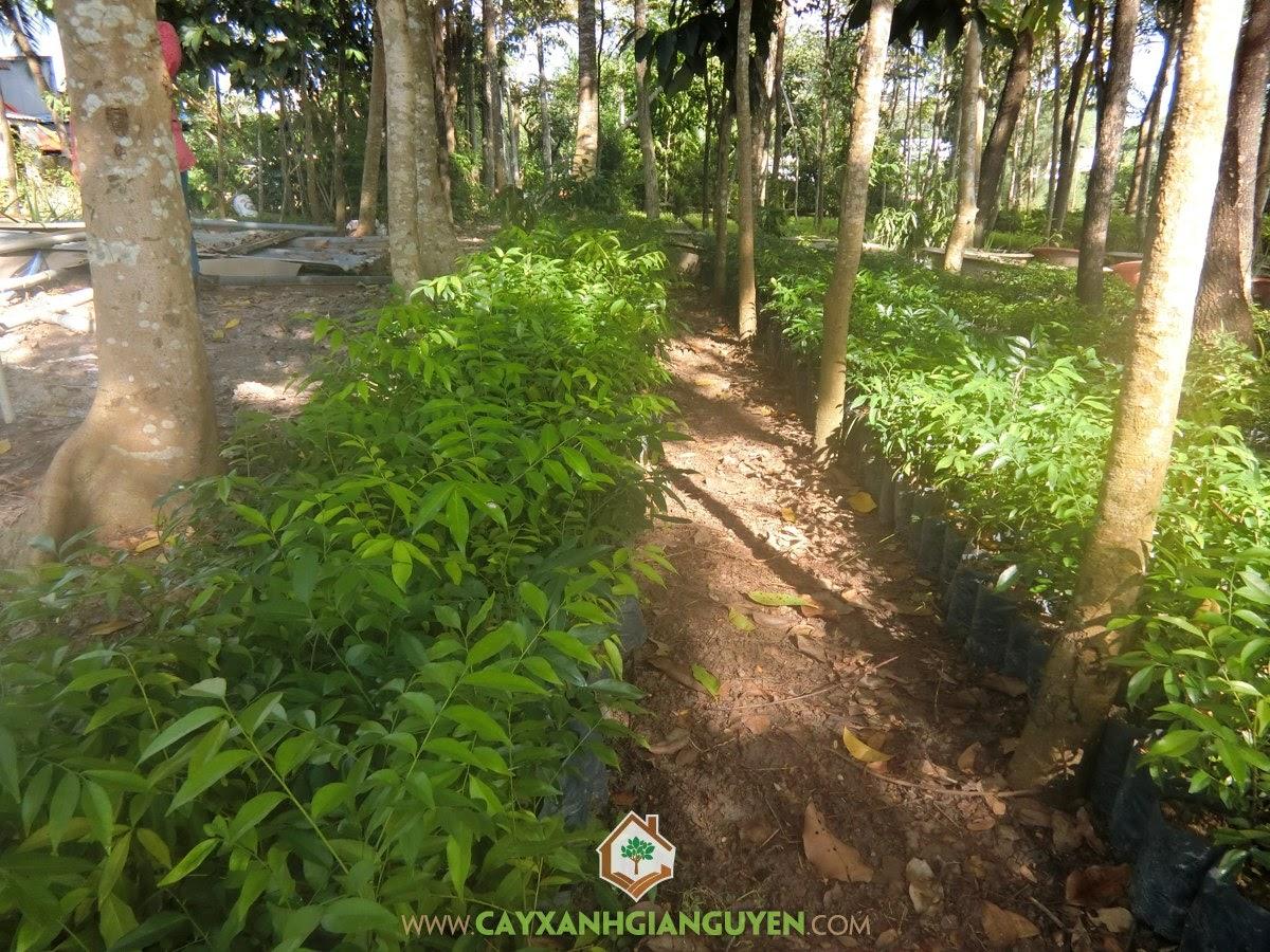 Cây Mắc Mật, Trồng Cây Mắc Mật, Kỹ thuật trồng Cây Mắc Mật, Vườn Mắc Mật, Mắc Mật