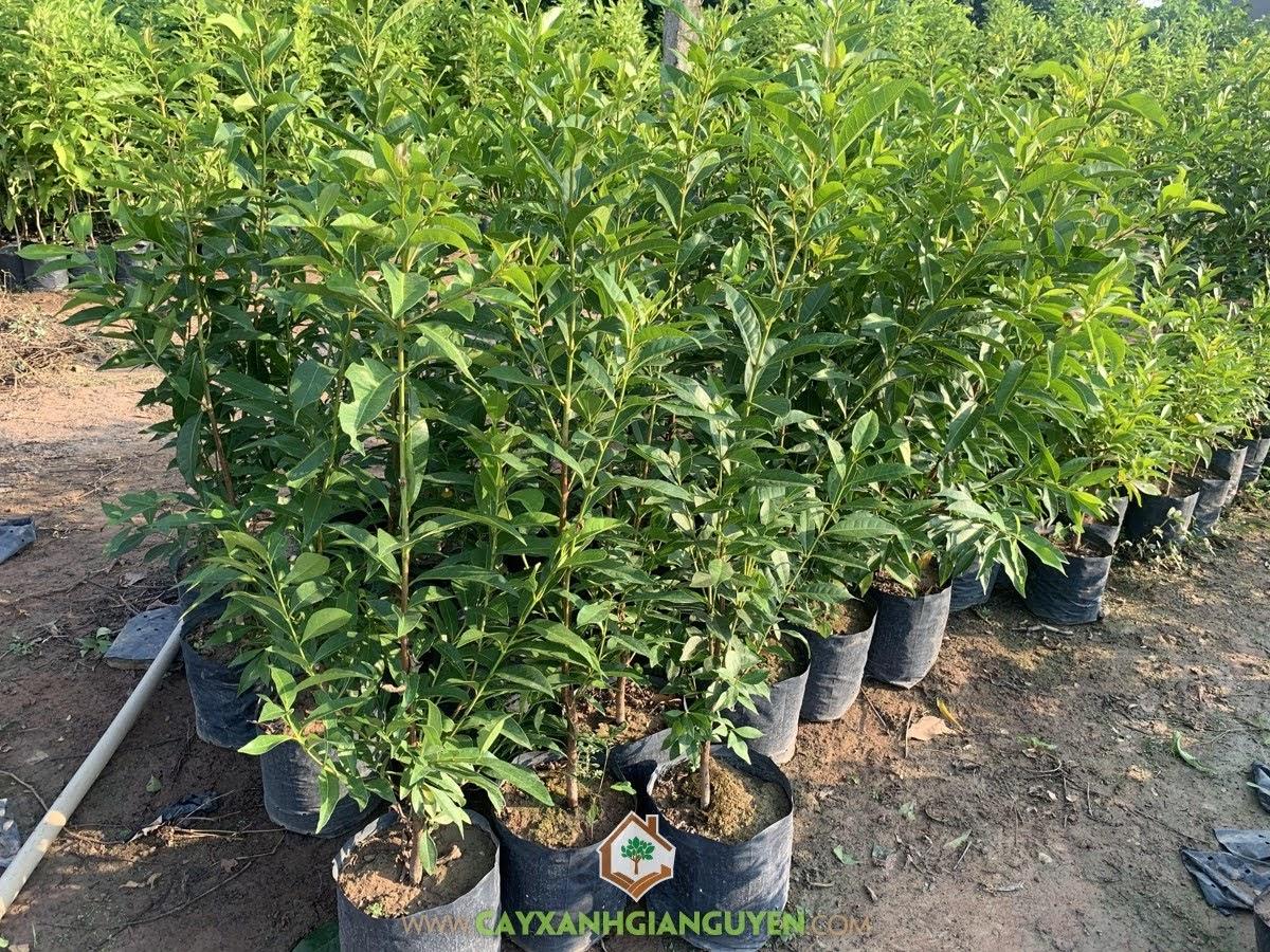 Cây Vối Bắc, Cách trồng Cây Vối Bắc, Trồng Cây Vối Bắc, Vối Bắc, Cây Vối Bắc Giống
