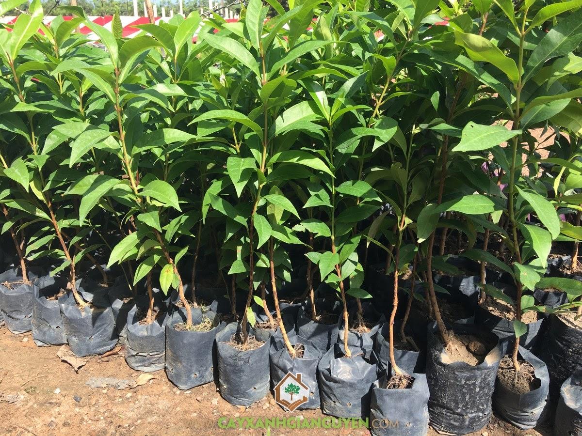 Cây Vối Nếp, Vườn ươm Cây Xanh Gia Nguyễn, Cây Lâm Nghiệp, Cây Vối Bắc, Cây Vối Giống