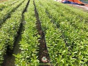 Cây Vối Nếp, Cách trồng cây Vối Nếp, Cây Vối giống, Cây Vối Nếp trồng bầu, Cây giống vối nếp