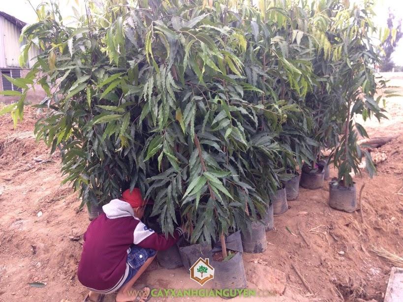 Cây Hoàng Nam, Vườn ươm Cây Xanh Gia Nguyễn, Cây Hoàng Nam Giống, Mua Cây Hoàng Nam, Cây Huyền Diệp