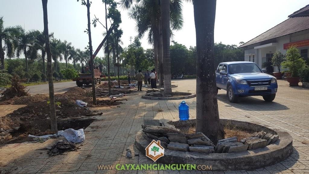 Vườn Ươm Cây Xanh Gia Nguyễn, Cây Dầu Rái, Cây Sao Đen, Cây giống, Trồng cây Dầu Rái giống