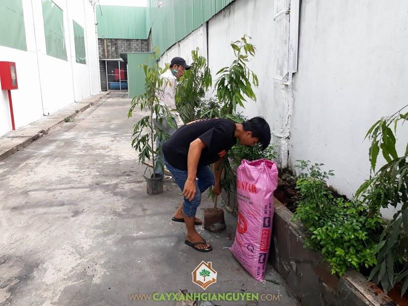 Cây Hoàng Nam, Vườn ươm Cây Xanh Gia Nguyễn, Công ty Cổ Phần TIE, Trồng cây xanh, Hoàng Nam