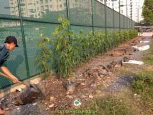 Cây Hoàng Nam, Trồng cây Hoàng Nam, Vườn ươm Cây Xanh Gia Nguyễn, Cây trang trí, Cây cảnh quan