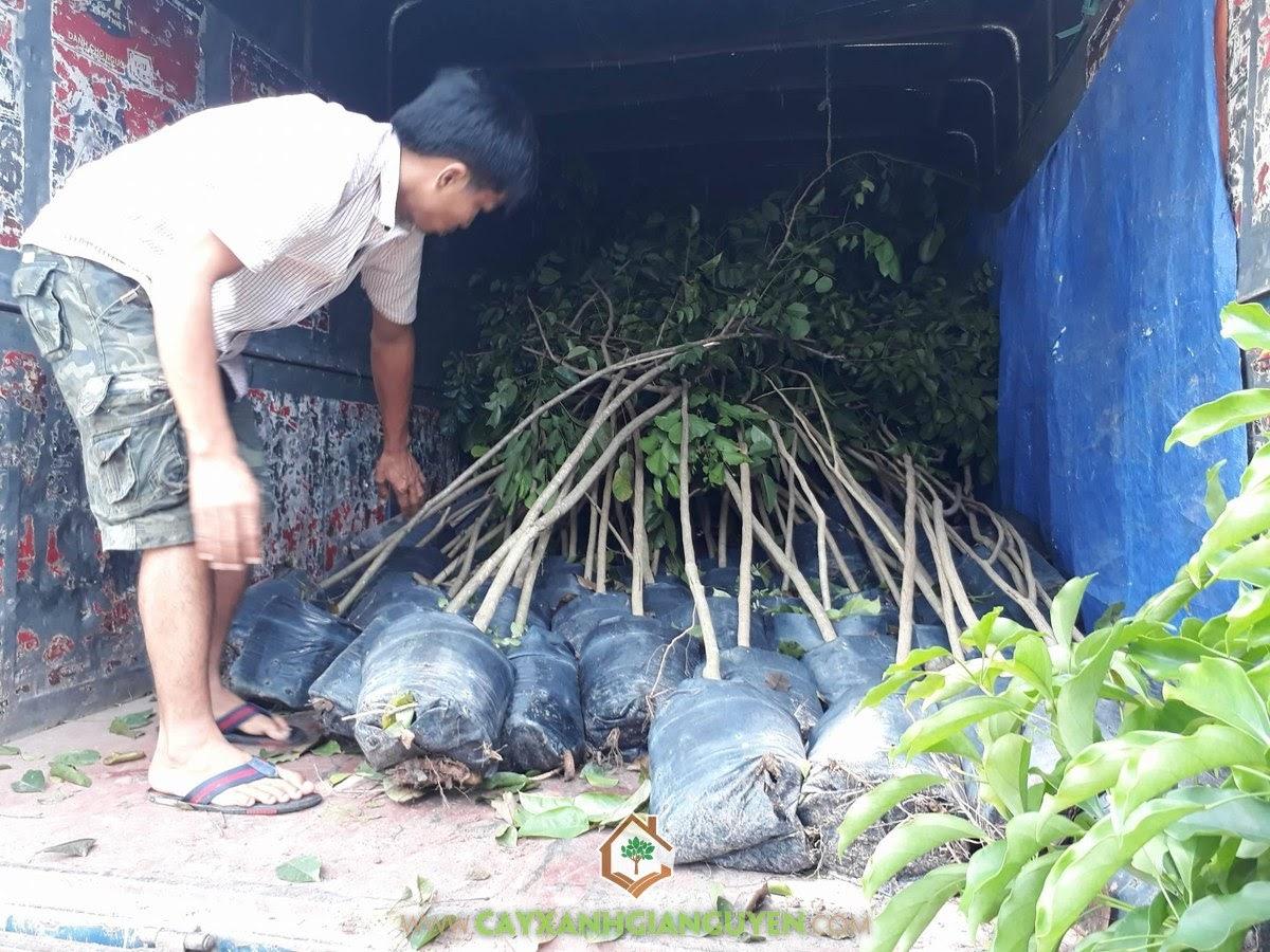 Cây Giáng Hương, Vườn ươm Cây Xanh Gia Nguyễn, Cây giống, Giáng Hương, Gia Nguyễn
