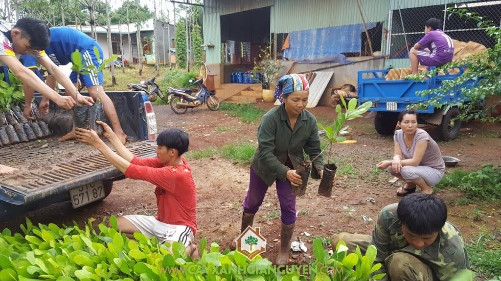 Cây Điều AB0508, Trồng cây giống, Vườn ươm Cây Xanh Gia Nguyễn, Cây giống, Cây Điều