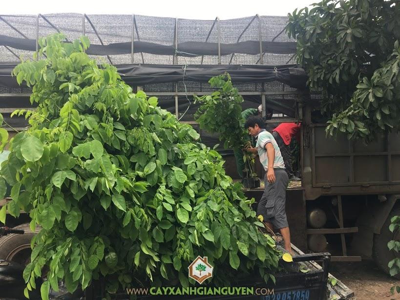 Cây Giáng Hương, Vườn ươm Cây Xanh Gia Nguyễn, Cây Giống, Giáng Hương, Công ty khoáng sản Phú Gia Phát