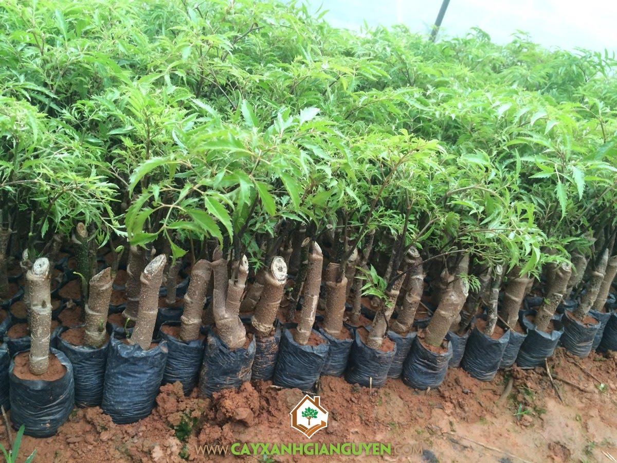 Cây Đinh Lăng, Trồng Cây Đinh Lăng, Phương pháp trồng Cây Đinh Lăng, Hom giống, Cây Đinh Lăng Giống