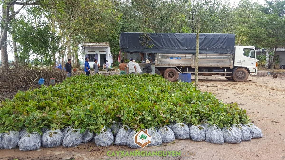 Cây Gáo Vàng, Cây Gáo Vàng Giống, Vườn ươm Cây Xanh Gia Nguyễn, Cây giống, Công ty Nam Hà