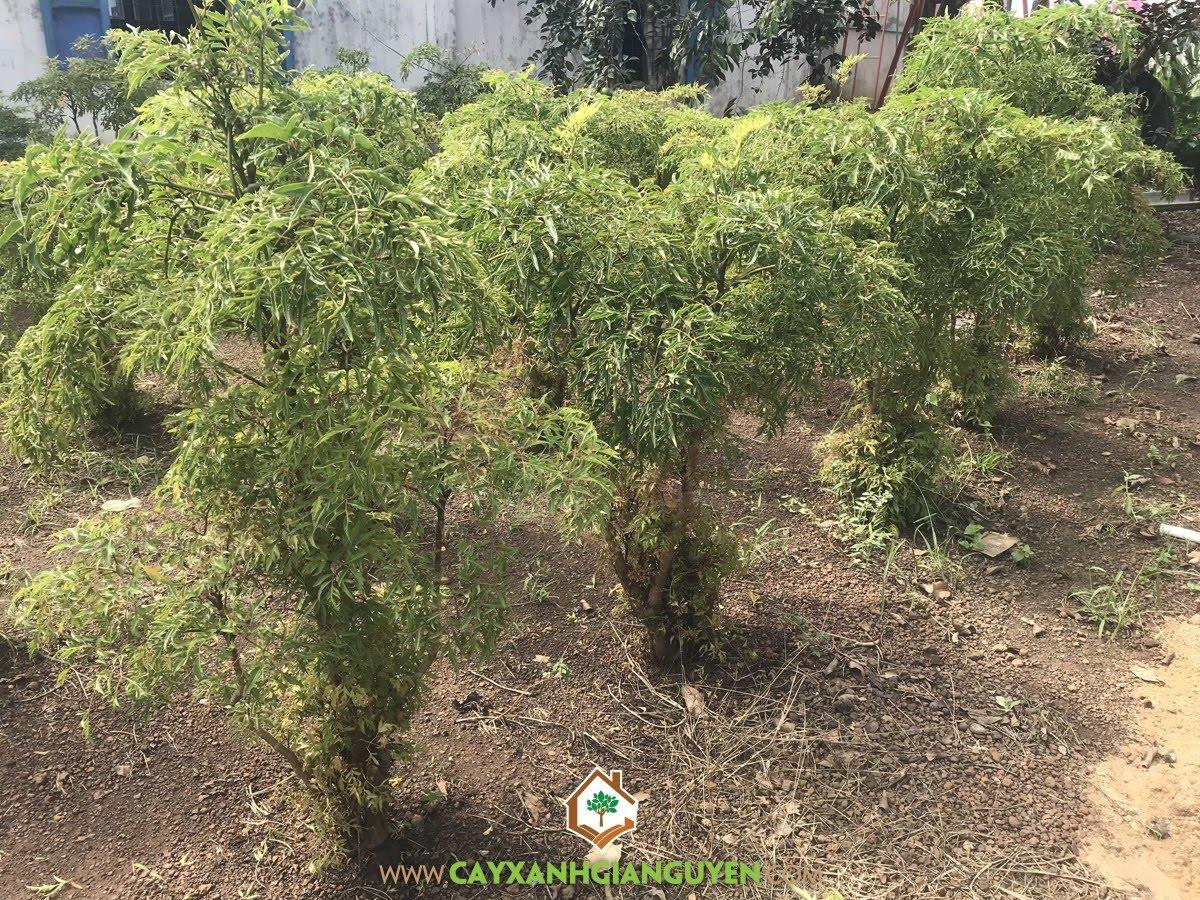 Cây Đinh Lăng, Trồng Cây Đinh Lăng, Vườn Đinh Lăng, Kỹ thuật trồng Đinh Lăng, Mô hình trồng Đinh Lăng