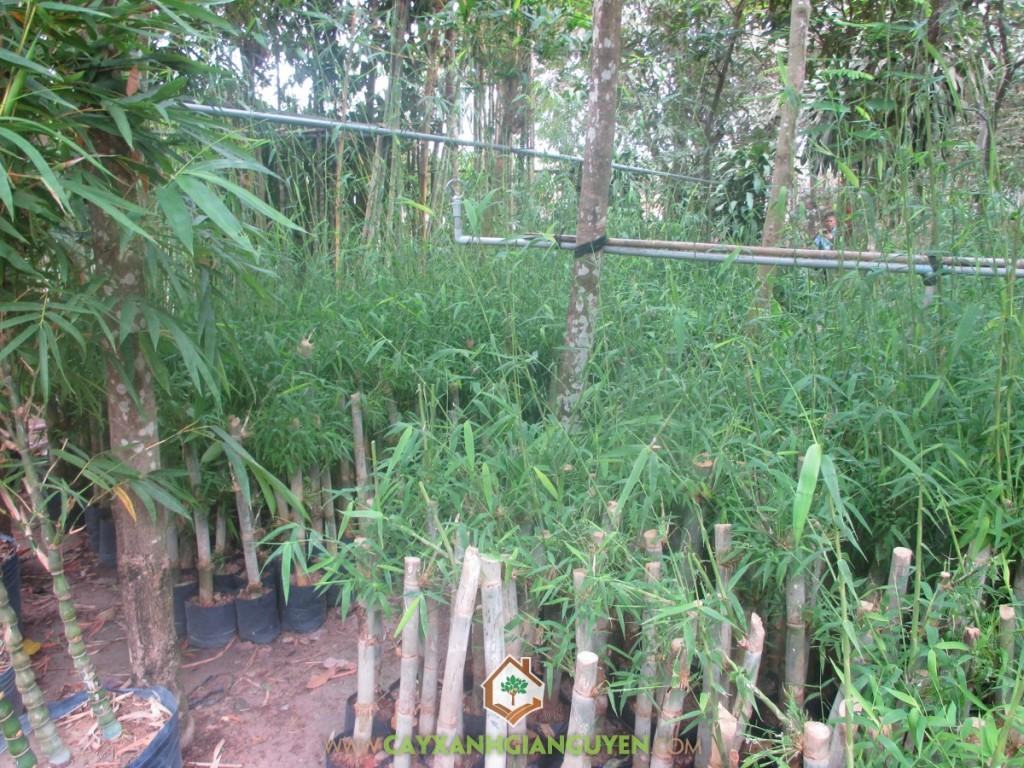 Tầm Vông, Kỹ thuật trồng cây tre Tầm Vông, Khóm Tầm Vông, Trồng Tầm Vông, Cây giống tre Tầm Vông
