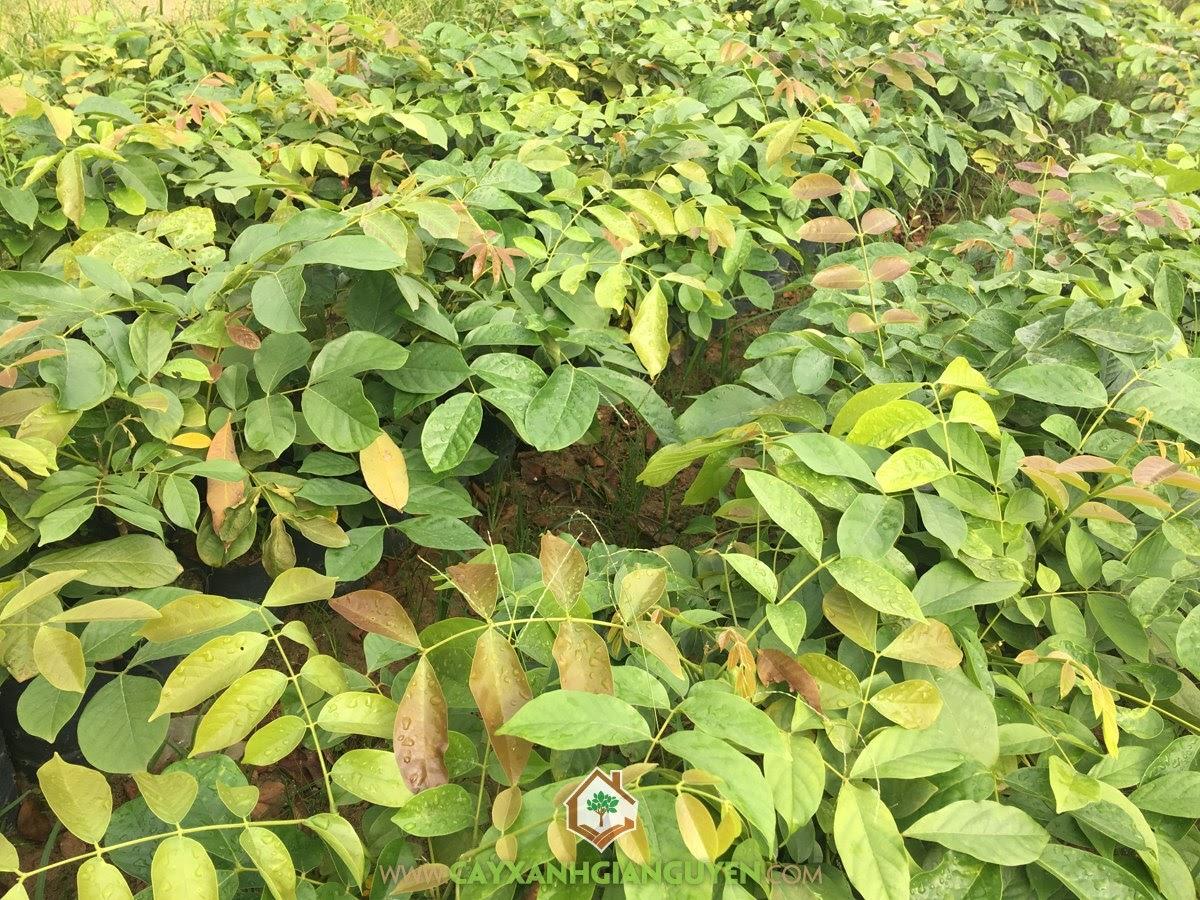 Cây Gỗ Căm Xe, Vườn ươm Cây Xanh Gia Nguyễn, Cây Căm Xe, Cây Giống Căm Xe, Giống Cây Căm Xe