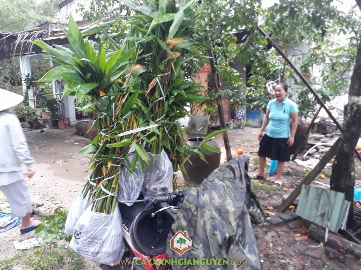 Giống Tre Điền Trúc, Vườn ươm Cây Xanh Gia Nguyễn, Cây Tre Điền Trúc, Giống Măng Tre, Trồng Tre Điền Trúc