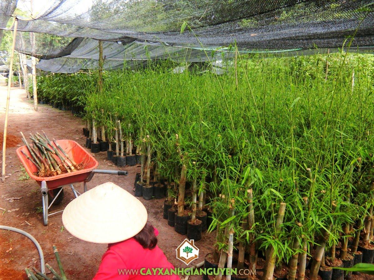 Cây Tre Tầm Vông, Phương pháp hom cành chiết, Cây Tre Tầm Vông Giống, Cây giống, Tre Tầm Vông