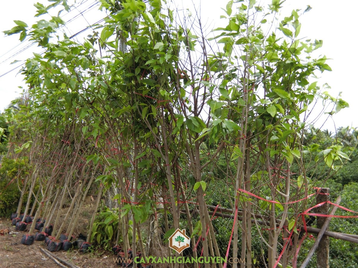 Cây Hoa Ngọc Lan, Cây Ngọc Lan, Cây Ngọc Lan trồng trong chậu, Ngọc Lan